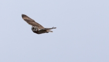Short-eared Owl and Swainson's Hawk, Camas Prairie, Idaho