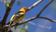 Western Tanager, Poison Creek Picnic Area, Owyhee County, Owyhee Scenic Byway
