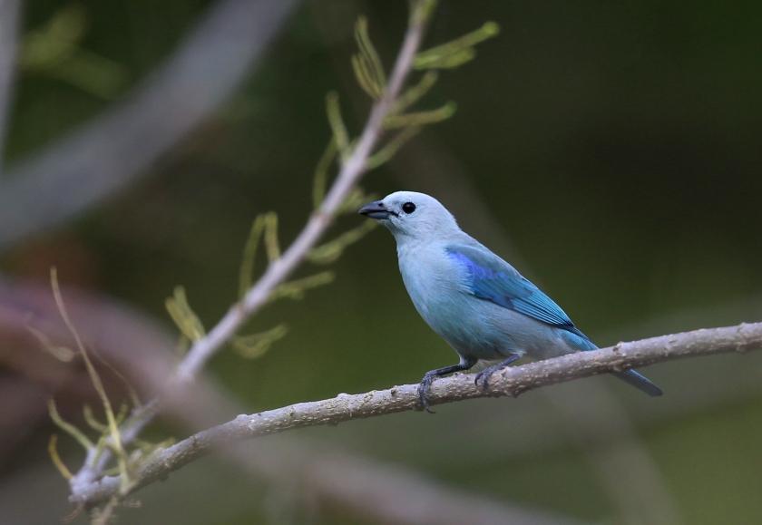 Blue-gray Tanager, Ecuador