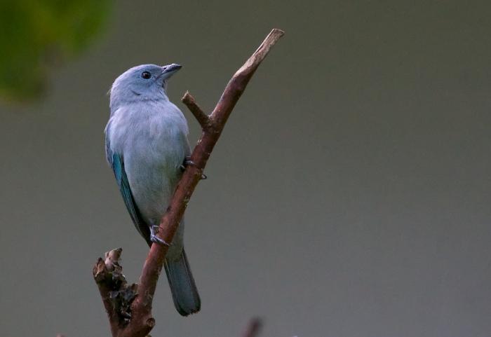 Blue-gray Tanager, Peru