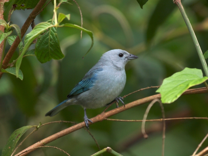 Blue-gray Tanager, Costa Rica