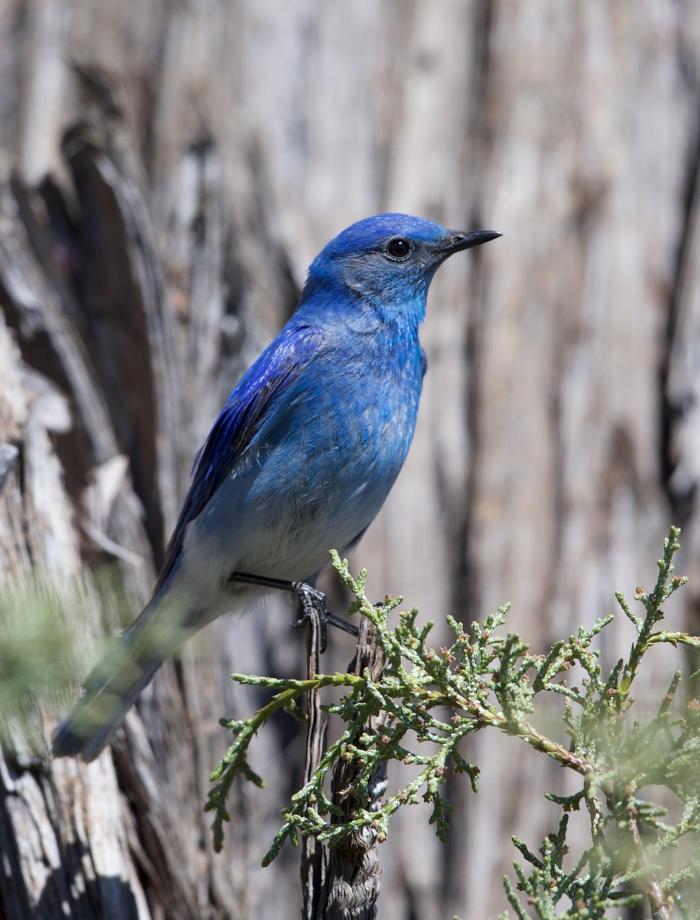 Mountain Bluebird, Baumgartner Campground, Elmore Country, Idaho
