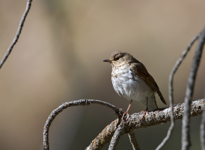 Swainson's Thrush, South Fork of the Boise River, Idaho