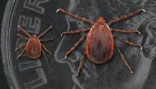 Nymph and Adult Asian Long-horned Tick, Two Haemaphysalis longicornis on a US dime.