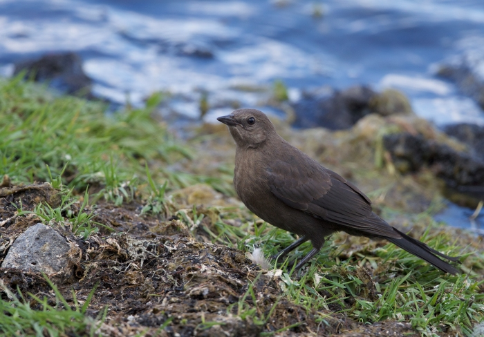 Brewer's Blackbird juvenile, Lava Lake, Oregon