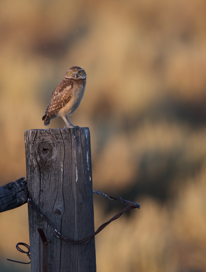 Burrowing Owl, Crystal Crane Hot Springs, Oregon