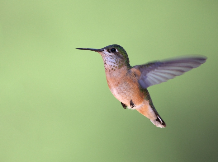Calliope Hummingbird, South Fork of the Payette River