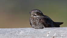 Common Nighthawk resting on a fence rail, Crystal Crane Hot Springs, Oregon