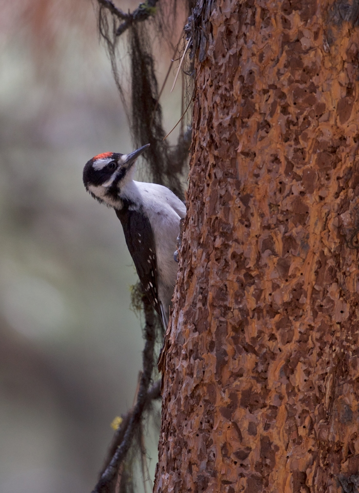 Male Downy Woodpecker, South Fork Payette River