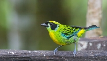 Green and Gold Tanager, Southern Ecuador
