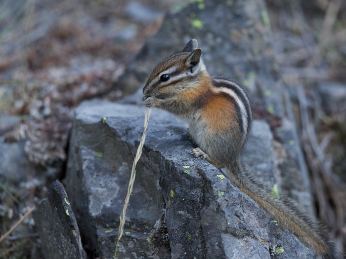 Least Chipmunk, South Fork of the Payette River