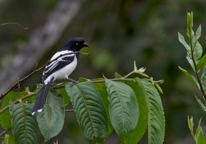 Magpie Tanager, Brazillian Panatanal