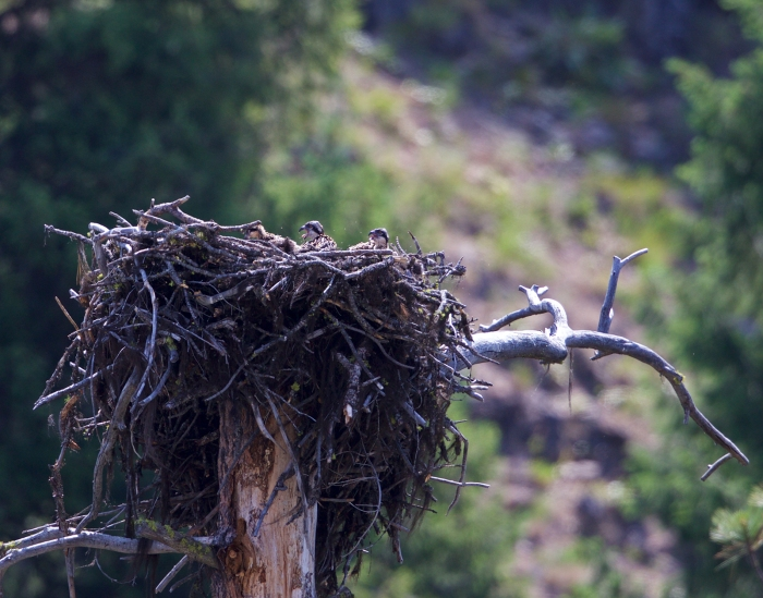 Three Osprey Nestlings, South Fork of the Payette River