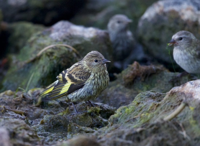 Pine Siskin with fledgings, Paulina Lake, Newberry Caldera, Oregon