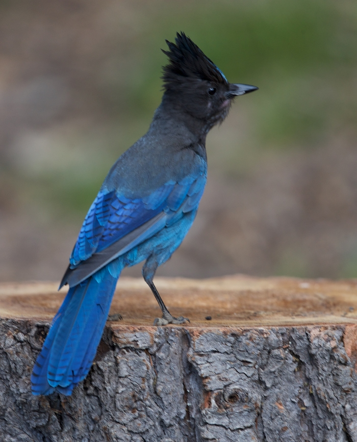 Steller's Jay, Little Crater Campgound, Newberry Caldera, Oregon