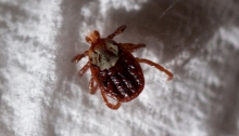 Rocky Mountain Wood Tick (Dermacentor andersoni) (Adult)