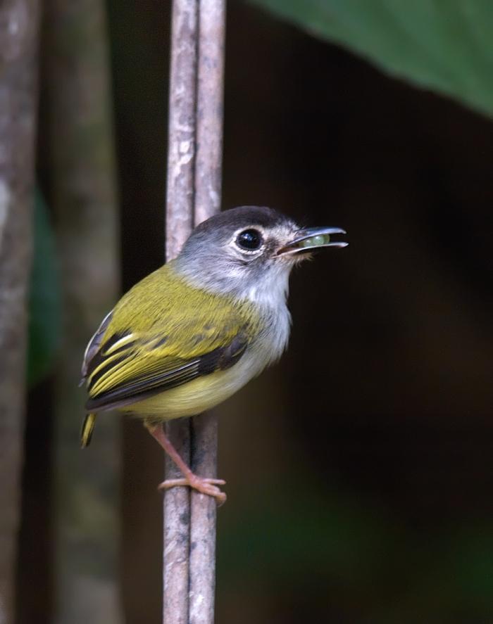 Black-capped Pygmy Tyrannulet, Panama