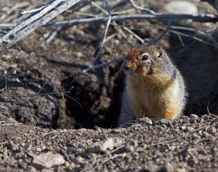 Columbian Ground Squirrel, IDaho