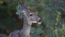Mule Deer Doe, Albertson Park Boise