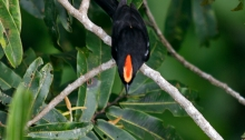 Flame-crested Tanager, Amazon Basin, Ecuador