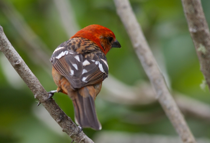 Male Flame-colored Tanager, Panama
