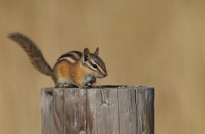 Least Chipmunk, Central Idaho