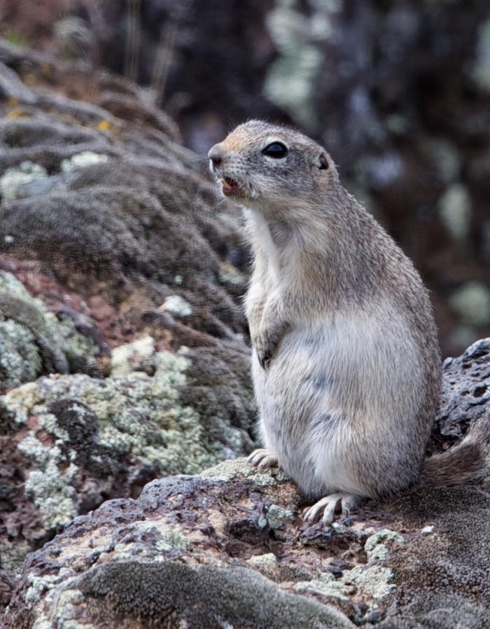 Northern Piute Ground Squirred, Southwest Idaho