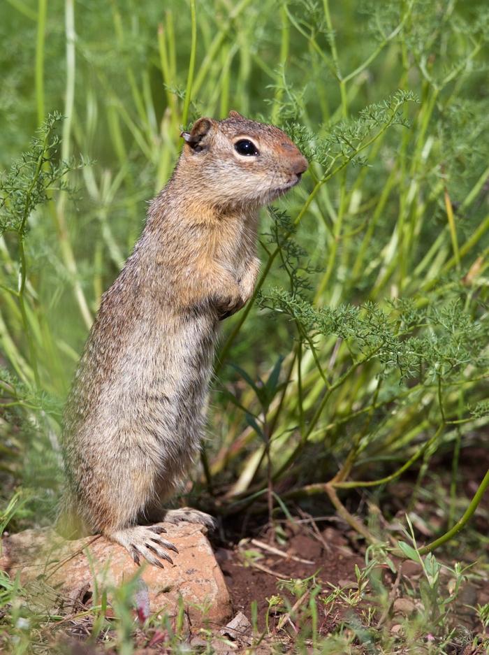 Northern Idaho Ground Squirrel, Idaho