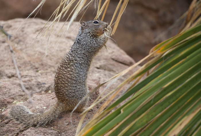 Spotted Ground Squirrel, Southern Arizona