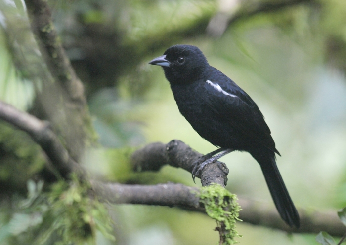 White-lined Tanager Male, Western Ecuador