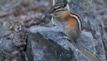 Yellow-pine Chipmunk, Central Oregon