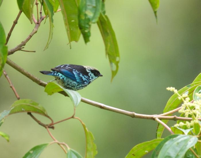 Beryl-spangled Tanager, Andes, Ecuador