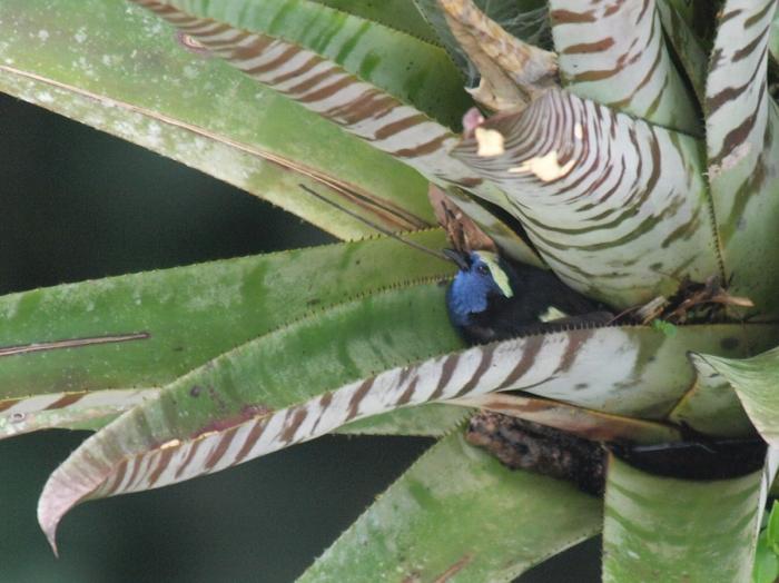 Opal-crowned Tanager, Amazon Basin, Ecuador