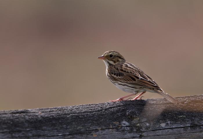 Savannah Sparrow, Camas Prairie, Idaho early fall, 2019