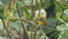 Silver-throated Tanager, Ecuador
