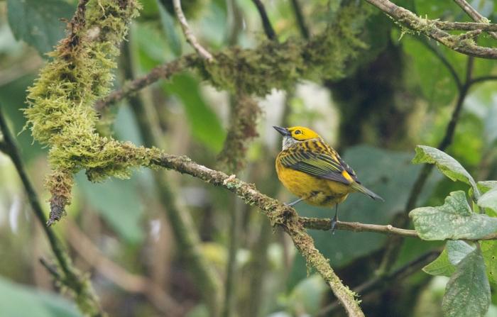 Silver-throated Tanager, Ecuador