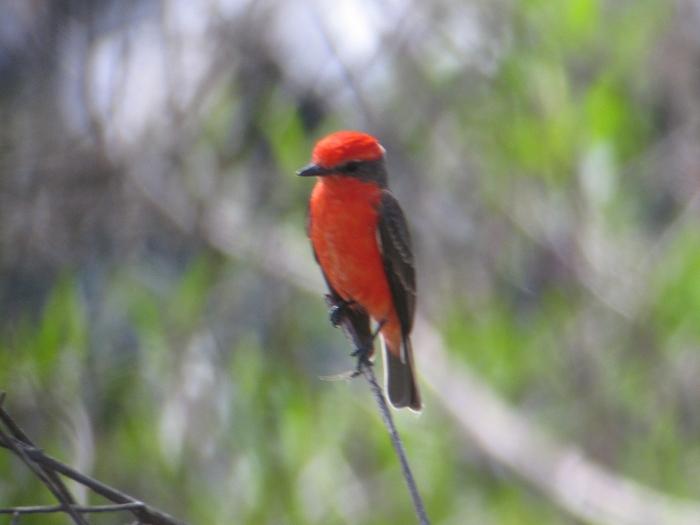 San Cristóbal Vermilion Flycatcher (Pyrocephalus dubius), San Cristóbal Island, Galapagos island