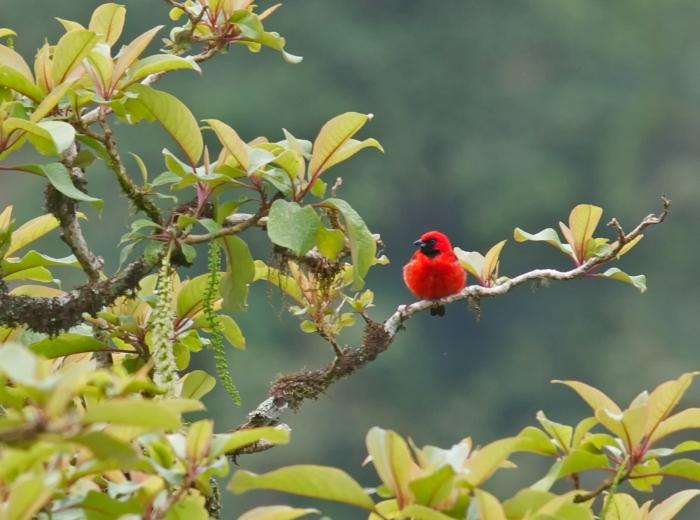 Vermillion Tanager, Podocarpus National Park, Ecuador