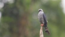 Plumbeous Kite, Ecuador