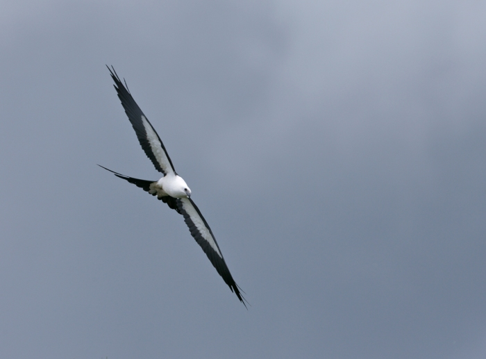 Swallow-tailed Kite, crest of the Andes, Ecuador