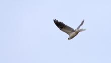 White-tailed Kite, Darién Province, Panama
