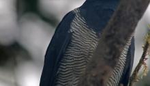 Barred Hawk, Mindo region, Ecuador