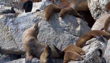 California Sea Lions, Scapegoat