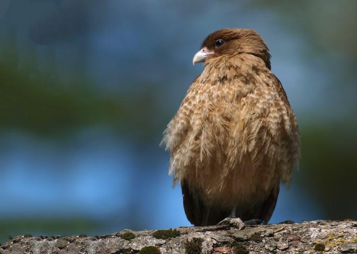Chimango Caracara, Tierra del Fuego National Park, Arentina