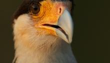 Southern Crested Caracara, Pantanal, Brazil