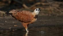 Black-collared Hawk, Pantanal, Brazil