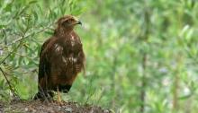 Variable Hawk, Intermediate Morph, Pantnal, Brazil