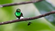 Booted Racket-tail, Buenaventura Reserve, Ecuador