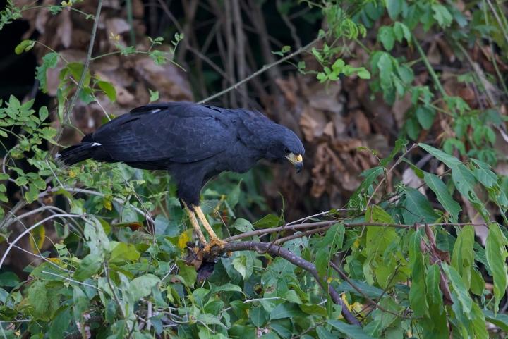 Great Black Hawk, Madre de Dios River, Peru