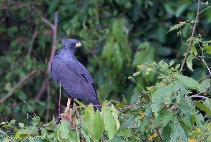 Great Black Hawk, Rio Napo, Ecuador